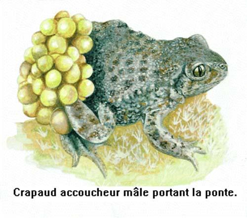 Alytes obstetricans le crapaud accoucheur lot nature for Crapaud dans la maison