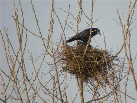 o trouver un nid de corbeaux oiseaux forum animaux. Black Bedroom Furniture Sets. Home Design Ideas